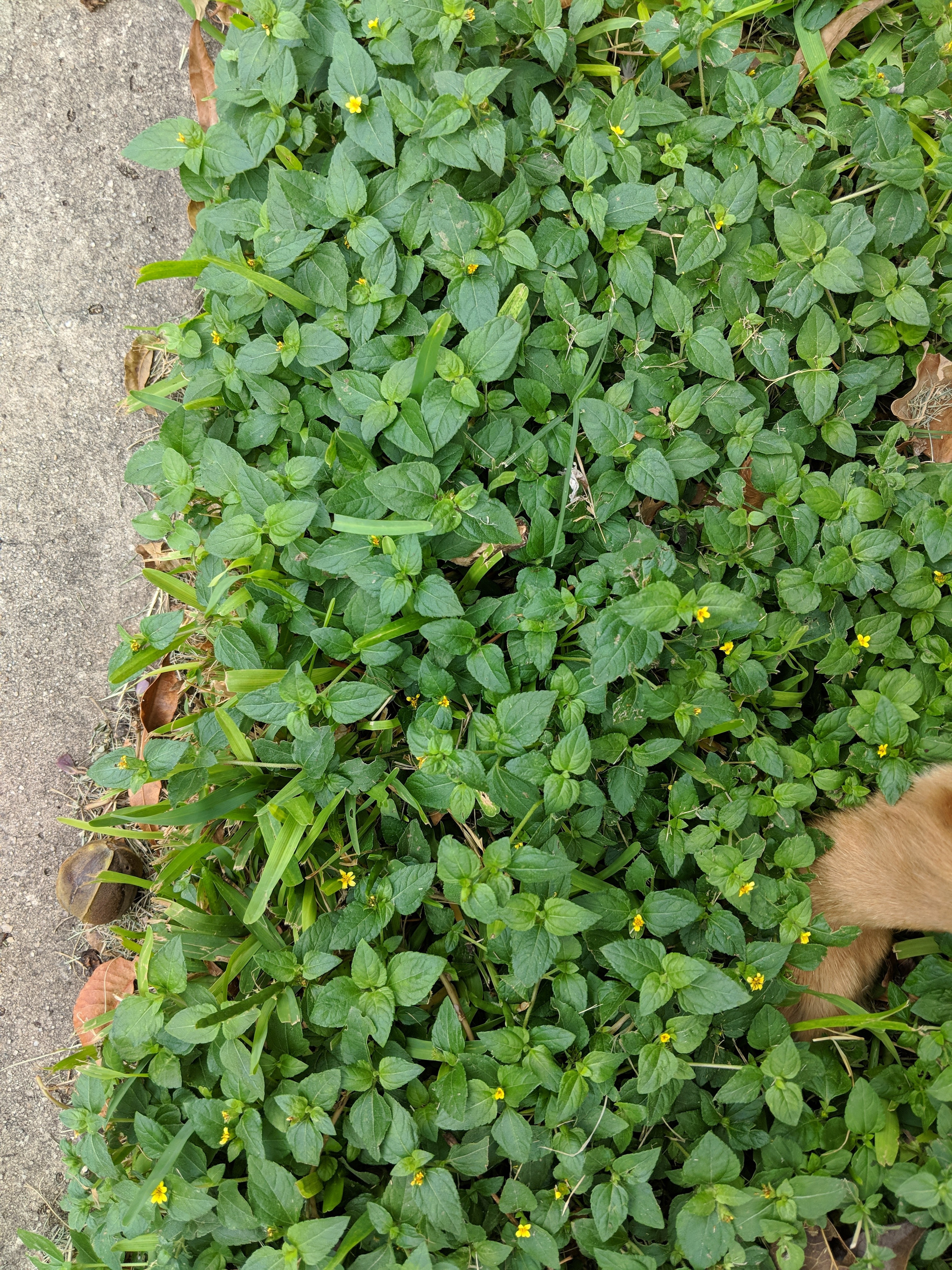 Weed identification and questions about weed control/lawn